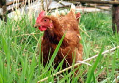 Humane food, like eggs from cage-free hens, is in high demand from consumers.