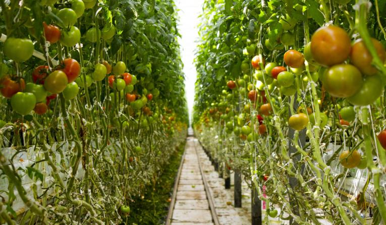 Wendy's announced a new initiative to source vine-ripened tomatoes for its North American restaurants exclusively from greenhouse farms.