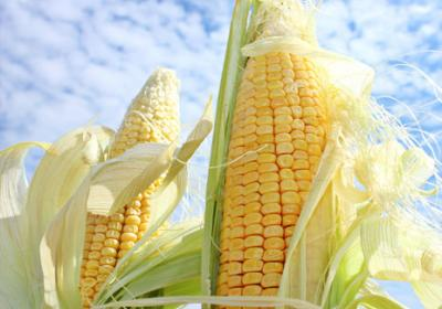 Corn prices are expected to drop 20 percent in 2014.
